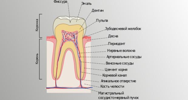 Анатомическое строение зуба человека фото